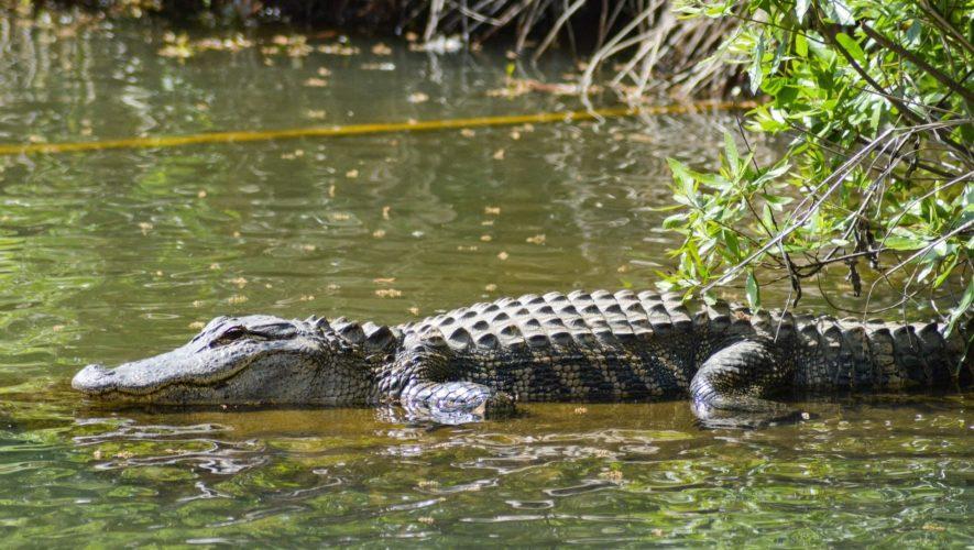 crocodile déplacés